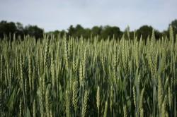 green-wheat